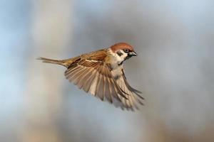 flygande trädsparv foto