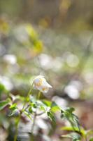 snödroppe anemone blommor i solsken