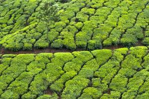 teplantage, teskörd