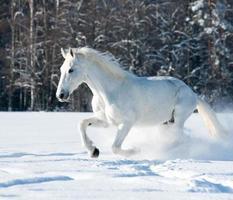 vit häst foto
