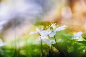 härlig anemone