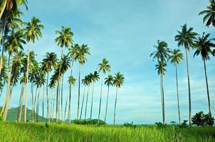 fält av högt gräs som omges av kokospalmer