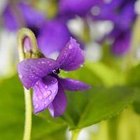 närbild på vanlig violett blomma med dagg foto