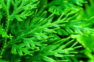 färska gröna blad av ormbunke