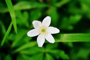 singel anemone foto