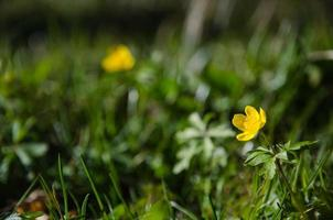 glänsande gul vårblomma foto