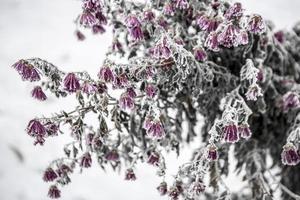 blommor täckta med frost foto