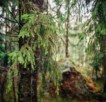 barrträd