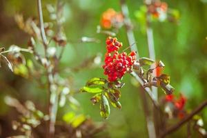 höstens rönnträd med röda bär och färgglada löv