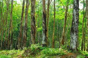 gammalt gummiträd, gummi och caoutchouc, gummitappning foto