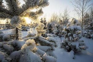 tallgrenar i snö vid solnedgången