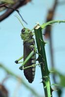 jätte gräshoppa (tropidacris collaris). foto