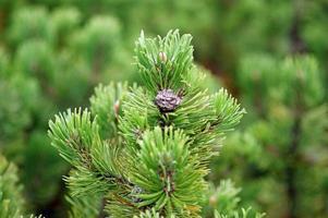 kottar på en vintergrön gren