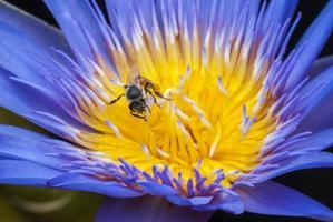 bi på vacker lotusblomma.