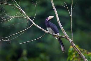 orientalisk pied hornbill (anthracoceros albirostris)