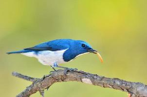 ultramarin flugsnappare fågel foto