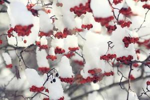 röda bär under snö