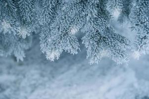 frysta barrträd på den vita vintern foto