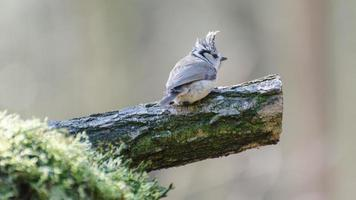 europeisk crested tit