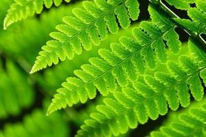 färska vårgröna ormbunksblad