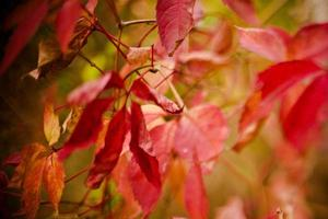 röda blad foto