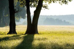 trädstammar i morgondimma foto
