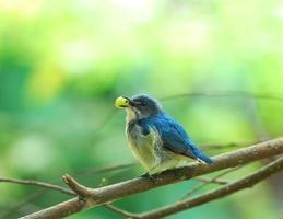 fåglar som äter frukt (buff-bellied flowerpecker) foto