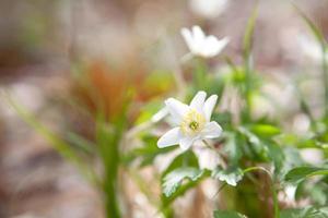 snödroppe anemone blomma på våren foto