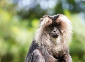 lejon-tailed makak porträtt