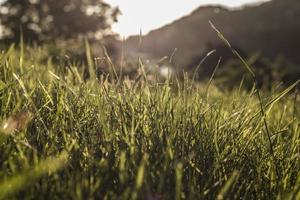 berggräs foto
