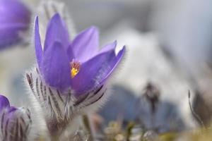 bergspassblomma (pulsatilla montana) foto