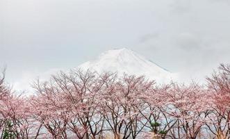 ญ träd för blomma körsbärsblom i våren kawaguchi sjön, Japan