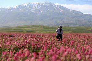 vilda blommor och snöiga berg foto