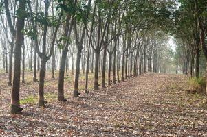 gummiträd. foto