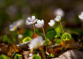 vita vilda blommor blommar. träsorrel foto