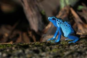 blå gift groda foto