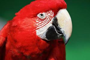 röd ara foto