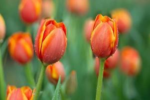 vacker orange tulpanblomma. foto
