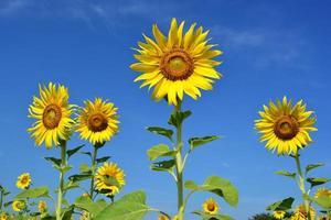 solros och blå himmel. foto