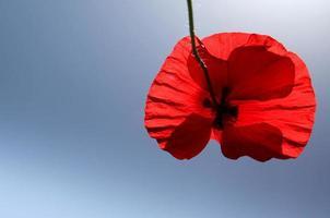 röd vallmoblomma med blå himmel foto
