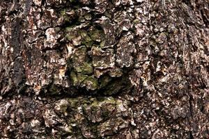 gammal och torr trädstruktur för bakgrund foto