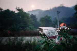 vacker ros i en trädgård