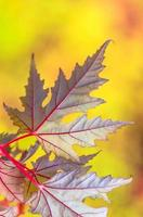 vackert gult rött grönt blad på hösten foto