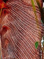 närbild av kokospalmen foto