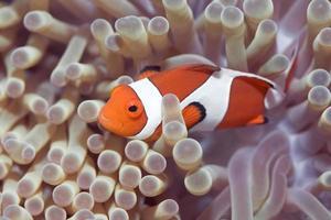 anemone och clownfish foto