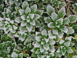 frysta växter foto