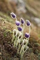 lila anemone foto