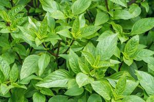 söta basilika växter foto