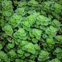 Echeveria växter foto