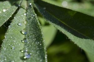 växter, dagg foto